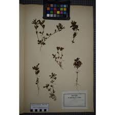 Trifolium bocconei Savi [1808]