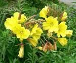 oenothera