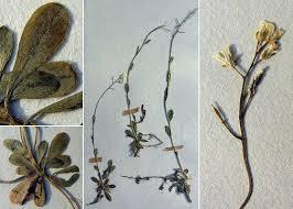 Arabis arabiformis (Hohenw.) Soldano - Portale sulla flora del Parco ...
