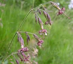 Silene nutans subsp. insubrica (Gaudin) Soldano - Silene insubrica ...