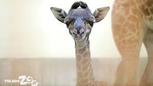 toledo zoo welcomes newborn giraffe kipenzi com kipenzi the giraffetoledo zoo