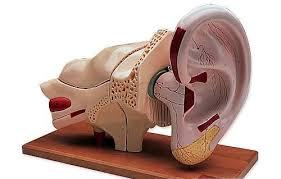 「聴覚器」の画像検索結果
