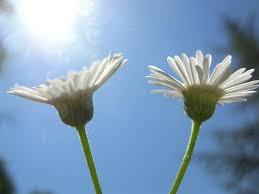 Risultati immagini per fiorellino della serenità