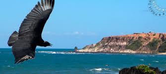 Resultado de imagem para Foto de um urubu em voo planador
