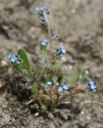 Myosotis ramosissima - Wikipedia