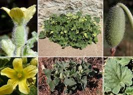Ecballium elaterium (L.) A.Rich. - Portale sulla flora del basso corso ...