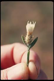 Centaurea diffusa Calflora