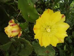 Resultado de imagem para flores de cactus