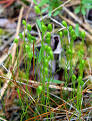 Images & Illustrations of curly grass fern