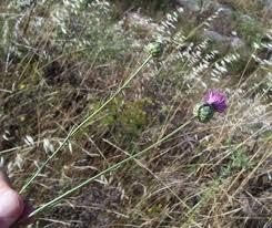 Mantisalca duriaei (Spach) Briq. et Cavill. * - Flora Mediterranea ...