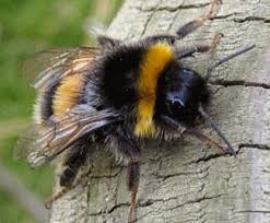 Image result for ground bumble bee