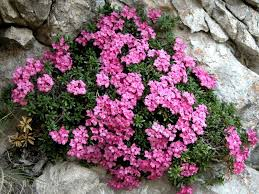 Dafne delle rupi (Daphne petraea) | Rete di Riserve Alpi Ledrensi