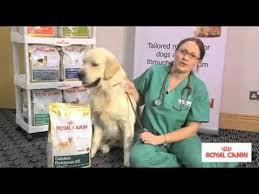 <b>Golden Retriever</b> Breed health nutrition - <b>Royal Canin</b> | MedicAnimal ...