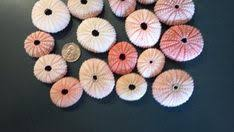 "Sea Urchin <b>Bulk</b> 25 <b>Pink</b> Sea Urchin 1"" to 2"" inches <b>Pink</b> Sea Urchin ..."