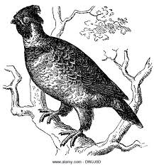 Small Picture Grouse Cut Out Stock Images Pictures Alamy