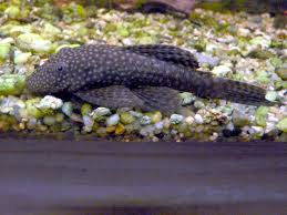 Bristlenose catfishes