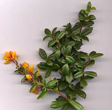 Berberidaceae - Wikipedia