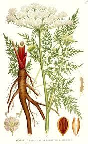 Peucedanum palustre - Wikipedia, la enciclopedia libre