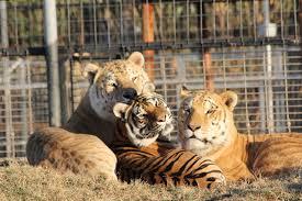 Panthera tigris ×