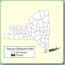 Glaucium corniculatum - Species Page - NYFA: New York Flora Atlas