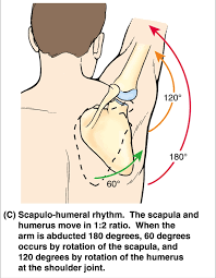 shoulder complex kinematic considerations best performance group scapulohumeral rhythm
