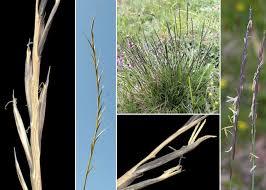 Nardus stricta L. - Portale sulla flora del Parco Naturale delle Prealpi ...
