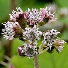 Wildflower Heliotrope, Winter Irish Wild Flora Wildflowers of Ireland