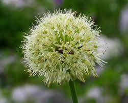 Allium victorialis - Wikipedia