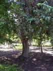 Images & Illustrations of capulin tree