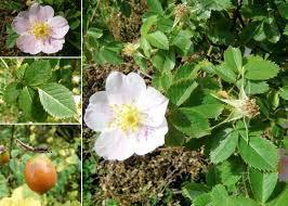 Rosa dumalis Bechst. - Portale alla flora del Parco Nazionale delle ...