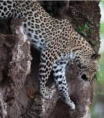 <b>Leopard</b> | African Wildlife Foundation