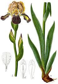 Holunder-Schwertlilie – Wikipedia