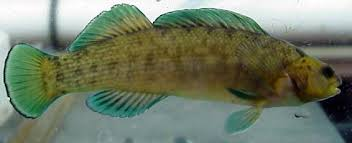Etheostoma wapiti