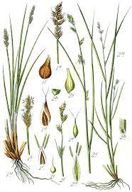 Carex diandra - Wikipedia, la enciclopedia libre