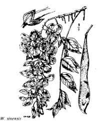 florae.it :: Sp. Wisteria sinensis