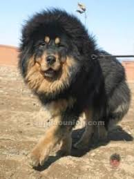 Image result for cute puppy looks like lion