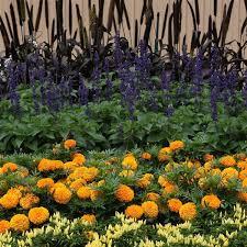 Taishan® <b>Orange African</b> Marigold