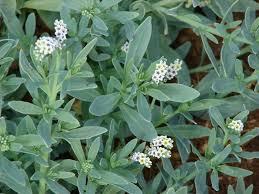 Heliotropium curassavicum - Wikipedia, la enciclopedia libre