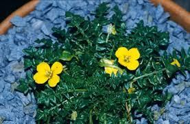Morisia monanthos | morisia/RHS Gardening
