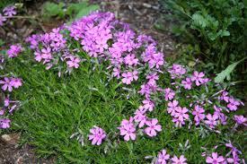 creeping phlox has small beautiful flowers