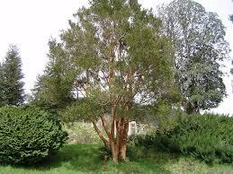 Resultado de imagen para imagenes de la planta arrayán