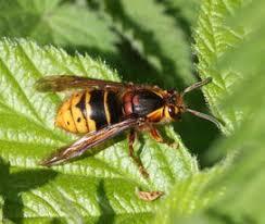 Median <b>Wasp</b>   NatureSpot