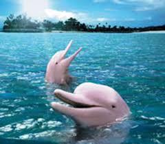الدولفين الوردي،