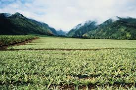 Hawaii becomes GMO crop flash point...