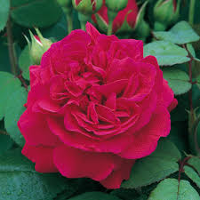 tess of the d urbervilles english roses type tess of the d urbervilles enlarge image enlarge image enlarge image