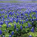 Images & Illustrations of bluebonnet