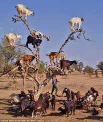 Silly billies! Why WOULD nine goats climb a tree? | Goats, Trees ... via Relatably.com