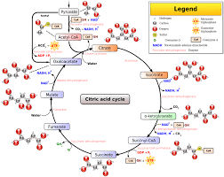 file citric acid cycle noi jpg   wikipediafile citric acid cycle noi jpg