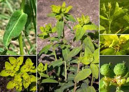 Euphorbia verrucosa L. - Flora urbana della città di Trieste