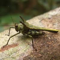 The story of the Malagasy devils (Orthoptera, Tetrigidae): Holocerus ...